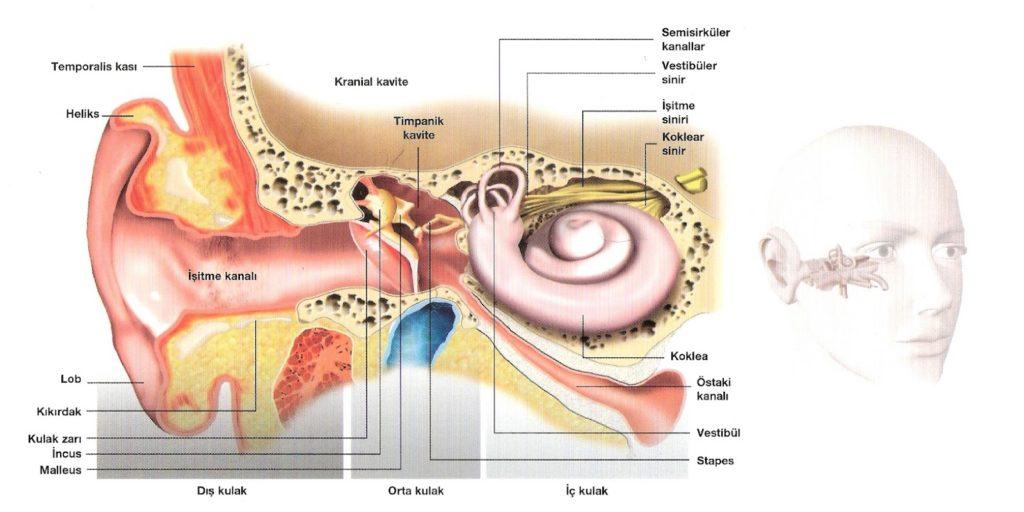 Kulağın-Anatomisi