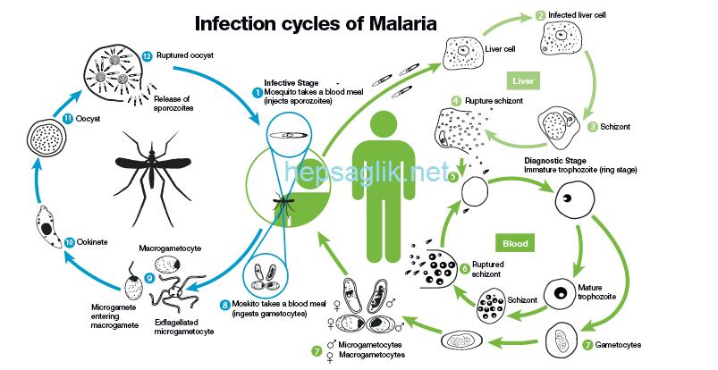 Sıtmanın İnsan Vücdundaki Evrimi