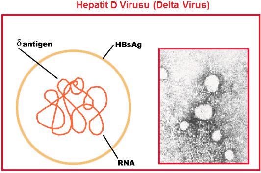 hepatit D