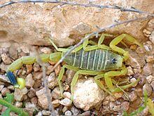 Leiurus quinquestriatus - Sarı Akrep