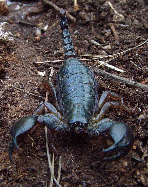 Scorpio maurus - kalın kıskaçlı akrep