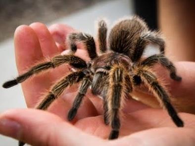 tarantula - örümcek